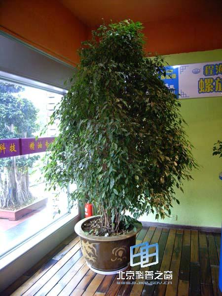 小树叶钢琴谱子-小叶子盆栽植物图片