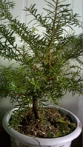 红豆杉盆景(防癌)图片