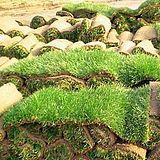 黑麦草草坪卷